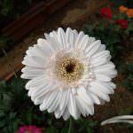 Charles roses plant nursry
